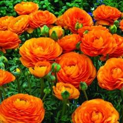 Лютик - оранжевый - пакет из 10 штук - Ranunculus