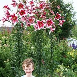 Pohon Lily Lilium Friso - umbi / umbi / akar