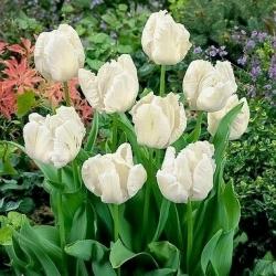 Тюльпан White Parrot - пакет из 5 штук - Tulipa White Parrot