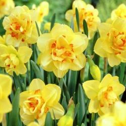 Nárcisz - Tahiti - csomag 5 darab - Narcissus