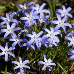 Vinh quang của tuyết - Chionodoxa luciliae - 10 chiếc; Vinh quang của Bossier về phần mềm của tuyết, Lucile