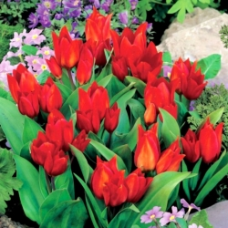Tulipa Tubergen's Variety  - Tulip Tubergen's Variety  - 5 bulbs