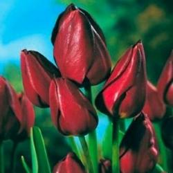 Tulipa Wallflower - Tulip Wallflower - 5 lampu