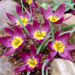 Tulipan Eastern Star - pakke med 5 stk - Tulipa Eastern Star