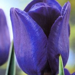 Tulipa Blue - Tulip Blue - 5 bulbs