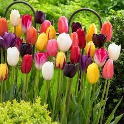 Tulip – colour selection – large pack! – 50 pcs