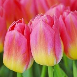 Тюльпан Tom Pouce - пакет из 5 штук - Tulipa Tom Pouce