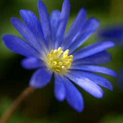 Anemone blanda - Blue Shades - pakend 8 tk