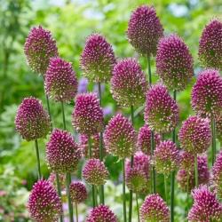 Allium Sphaerocephalon - paquete de 20 piezas