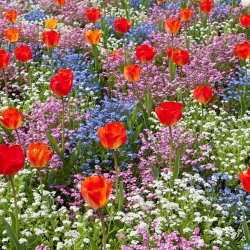 Orange tulip, blue, pink and white alpine forget-me-not - bulb and seeds set