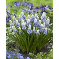 Grape Hyacinth - Muscari Mountain Lady - 10 pcs