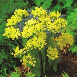 Yellow garlic – large pack! – 200 pcs; golden garlic, lily leek