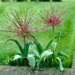 Allium Schubertii - bebawang / umbi / akar