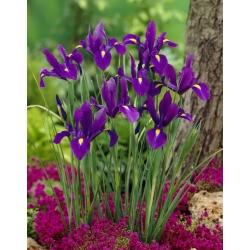 Nőszirom (Iris × hollandica) - Purple Sensation - csomag 10 darab