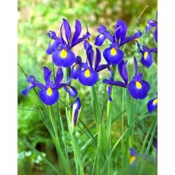 Nőszirom (Iris × hollandica) - Bronze Queen - csomag 10 darab