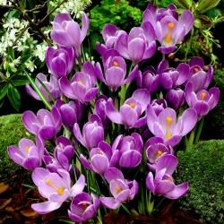 Sáfrány Flower Record - csomag 10 darab - Crocus Flower Record
