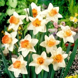 Narcis narcis - 5 ks -