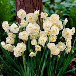 Narcissus Bridal Crown - Narcis Svadobné Crown - 5 cibuľky