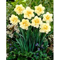 Narcissus - Manly - paquete de 5 piezas