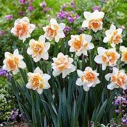 Narcissus Replete - narcis Replete - 5 kvetinové cibule