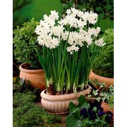 Nárcisz - Paperwhites Ziva - csomag 5 darab - Narcissus