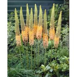 Eremurus, Foxtail Lilies Cleopatra