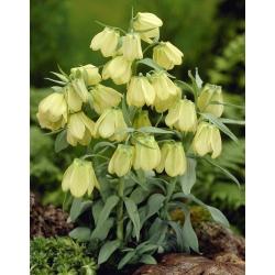 Бледно-цветочная рябчик - Fritillaria pallidiflora