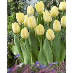 Тюльпан Creme Flag - пакет из 5 штук - Tulipa Creme Flag
