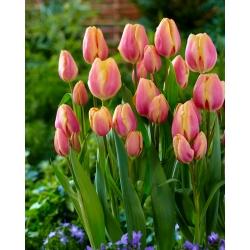 Tulipa Dragon King - Tulip Dragon King - 5 lampu