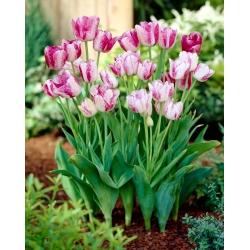 Gaya Modern Tulip - 5 pcs - Tulipa Modern Style
