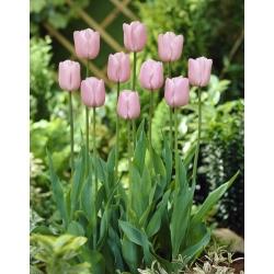 Tulipa Pink Diamond - paquete de 5 piezas