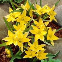 توليب Urumiensis - توليب Urumiensis - 5 لمبات - Tulipa Urumiensis