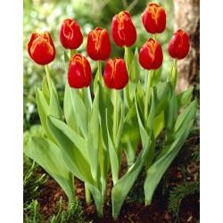 Tulipa Verandi - Tulip Verand - 5 kvetinové cibule