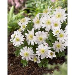 Anemone blanda White Splendor - 8 becuri