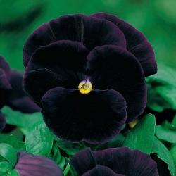 Hercai Menekşe Siyah Kral tohumları - Viola x wittrockiana - 320 tohumlar