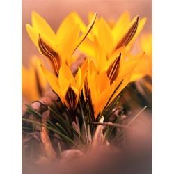 Crocus Orange Monarch - 10 piezas