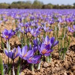 Crocus Sativus – Saffron – large pack! – 200 pcs