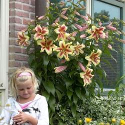 Pohon Lily Lilium Lavon - umbi / umbi / akar