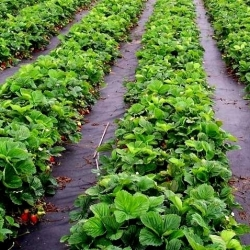 Fekete gyomnövényes gyapjú (agrotextil) - talajtakaráshoz - 1,60 x 20,00 m -