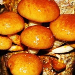 Nameko; jamur butterscotch - Pholiata nameko