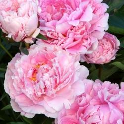 Paeonia، Peony Sarah Bernhardt - لامپ / غده / ریشه