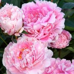 Paeonia, Peony Sarah Bernhardt - củ / củ / rễ