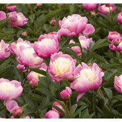 Paeonia، Cupon of Beauty - لامپ / غده / ریشه