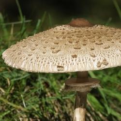 Bahçe tarımı için şemsiye mantarı - 3 kg - Macrolepiota procera