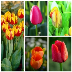 Early single–flowered tulip –  Colourful variety selection – 50 pcs