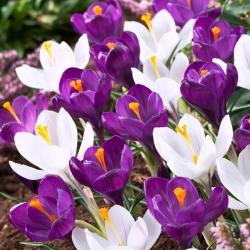 Purple and white crocus – Set of 60 pcs