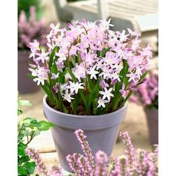 Chionodoxa forbesii Pink Giant - Glory of Snow forbesii Pink Giant - 10 bulbs
