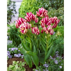 Tulipa Flaming Club - Tulip Flaming Club - 5 lampu