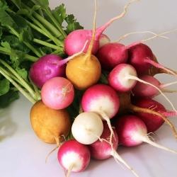 Radish - round root varieties' mix - COATED SEEDS - 300 seeds