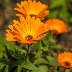 """Happy Garden - """"Whirling Marigold"""" - Bibit yang boleh dibesarkan oleh kanak-kanak! - 216 biji - Calendula officinalis - benih"""